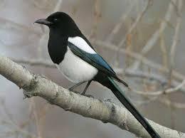 Colorado birds images Foothills life zones birds jpg