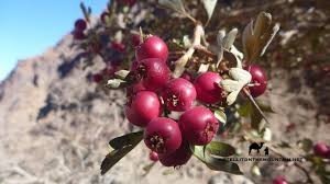 native plants in the desert wild plants of the sinai u2013 go tell it on the mountain