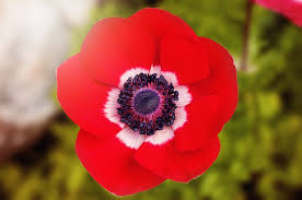 poppies flowers poppy flower pictures free photo poppy poppy flower free