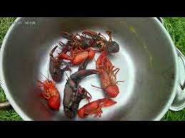 crayfish catch and cook episode 4 youtube