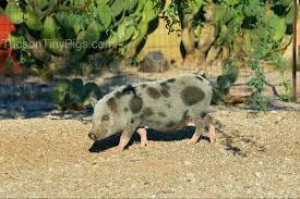 milah u201d u2013 tucson tiny pigs
