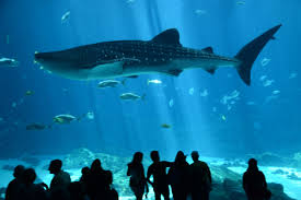 Georgia Aquarium Floor Plan by Diving With Whale Sharks In The Georgia Aquarium U2013 Digital Nomad