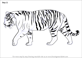 learn how to draw a siberian tiger big cats step by step