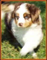 australian shepherd blue eyes ghost eye mini aussies avail litter 4 bandit pup5 blue eyed