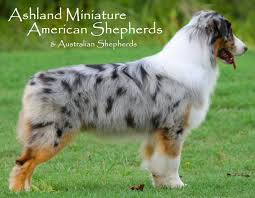 australian shepherd mini puppy 84 best miniature american australian shepherd images on