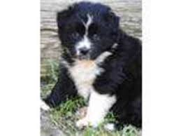australian shepherd in california view ad australian shepherd puppy for sale california squaw