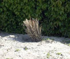 ornamental grasses care and maintenance