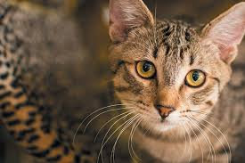 Comfort Pet Certification How To Get Your Cat Certified As A Therapy Cat Catster