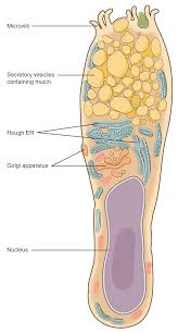 Anatomy And Physiology Cells And Tissues Epithelial Tissue Anatomy And Physiology