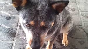 australian shepherd blue heeler blue heeler australian cattle dog tricks youtube