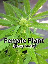 Most Difficult Plants To Grow Male Vs Female Cannabis Plants U2022 Soft Secrets