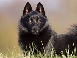 what is a belgian sheepdog schipperke information characteristics facts names