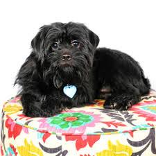 affenpinscher nc affenpinscher puppies and dogs for sale in indiana usa
