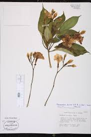 Fragrant Plants Florida - herbarium specimen details isb atlas of florida plants