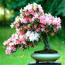 aliexpress buy 10 pcs japanese seeds cherry blossoms