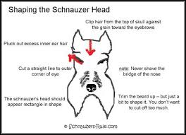 schnauzers hair cuts miniature schnauzer grooming chart