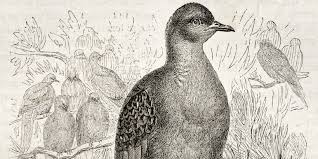 moptwo charles haspel the last known passenger pigeon died 100