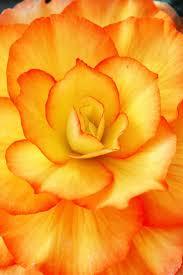 best 25 orange flower pictures ideas on pinterest roses orange