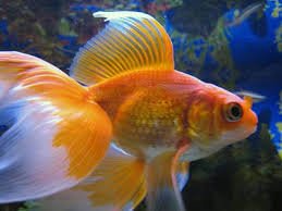 veiltail goldfish fancy show goldfish goldfish information and care