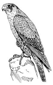 coloring lovely drawing falcon standing bird coloring