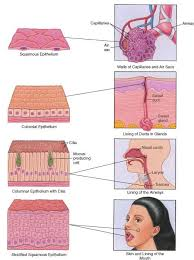 Anatomy And Physiology Cells And Tissues 15 Best Anatomy Tissues Images On Pinterest Nursing Schools