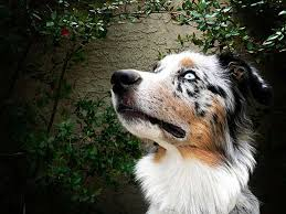 australian shepherd 1 year old shepherd breed standard
