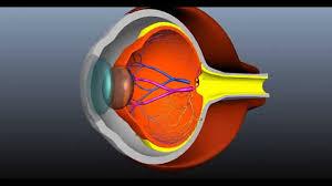 Anatomy Of The Eye 3d Crosssection Eye Rendering Simple Anatomy Of The Eye Youtube