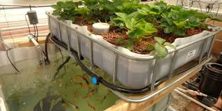 how a home aquaponics system can feed your family forever the filix
