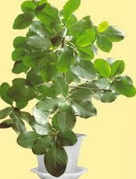 indoor plants new zealand laurel shrub corynocarpus photo