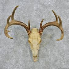 whitetail deer european antlers for sale 12619 the taxidermy store