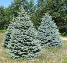 blue spruce blue spruce wholesale christmas trees