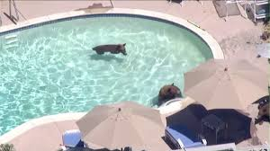 3 bears roam around pasadena neighborhood go for swim in pool