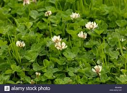 white clover dutch clover trifolium repens wildflower in stock