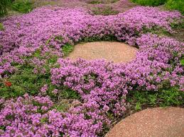 Fragrant Patio Plants - 165 best garden groundcover walkable plants images on pinterest