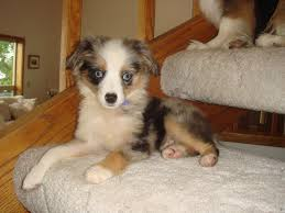 australian shepherd jump height hi