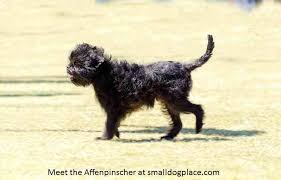 affenpinscher long hair affenpinscher small dog place