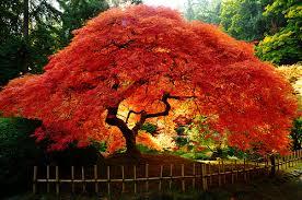 japanese maples cobbs trees