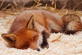 Fox In The Barn The World U0027s Best Photos Of Asleep And Fox Flickr Hive Mind