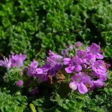 thym serpolet cuisine thymus serpyllum elfin thym serpolet couvre sol aromatique