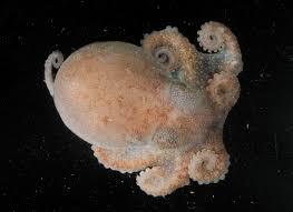 photos orange octopus more creatures found deep in antarctic sea