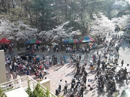 National Cherry Blossom Festival by Chungnam National University Cherry Blossom Festival Daejeon