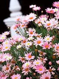 25 pink daisy ideas pink gerbera daisy love