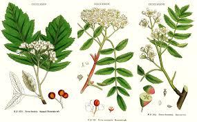 permaculture plants sorbus species service trees rowans