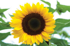 sunflower pictures sunrich orange f1 sunflower seed johnny s selected seeds