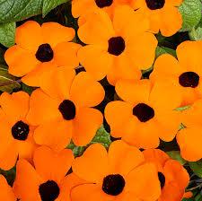 a range of climbing bedding plants u2013 for non stop summer colour