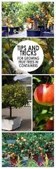 growing brussels sprouts in containers is not difficult and with