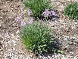 groundcover plant shrub info atascadero ca