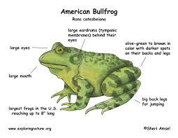 what bullfrogs can eat video http video nationalgeographic com