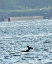 New Jersey Wild Swimming images Ct deer swims over a mile across new haven harbor outdoor life jpg
