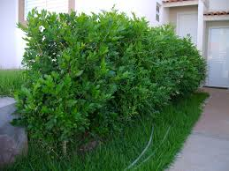 buxus sempervirens in vaso murta de cheiro murraya paniculata folhagem usada para fazer